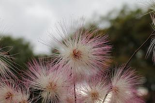 Fleur allergisante