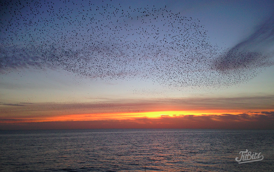 FitBits | Starling murmuration over Brighton beach
