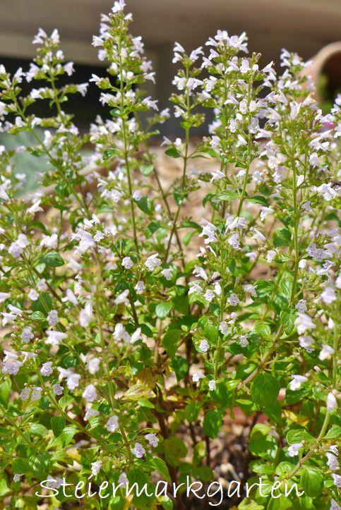 Minzblüte-Steiermarkgarten