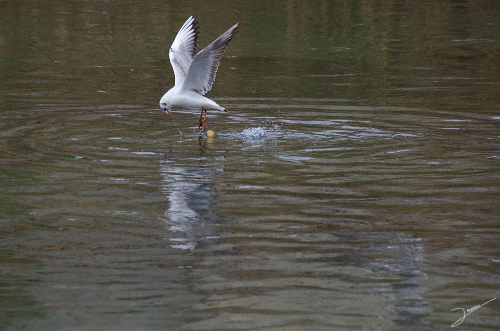Gaviota reidora intentando coger pan de las aguas del Río Segre, en vuelo