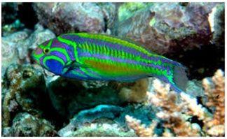 Jenis Ikan Laut Hias Aquarium Wrasse
