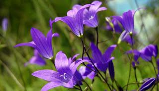 Цветок Валерии - колокольчик