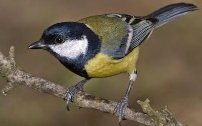Cara Merawat Burung Gelatik Agar Cepat Gacor Dan Memilih Bahan Yang Bagus