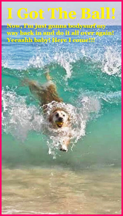 I got the Ball! Now, I'm just gonna bodysurf my way back in and do it all over again! Yeeeaahh baby! Here I come!!! #adorable #animals, #Golden #surfing #happy #playtime #wave #dog
