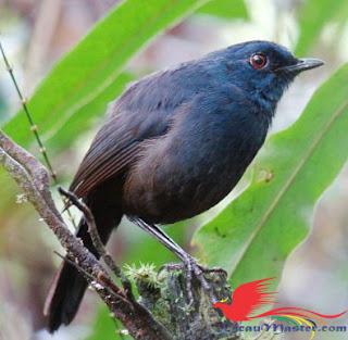 Download Suara Burung Cingcoang Sulawesi Mp3
