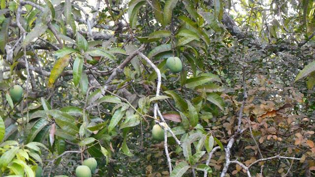 плоды манго на территории отеля