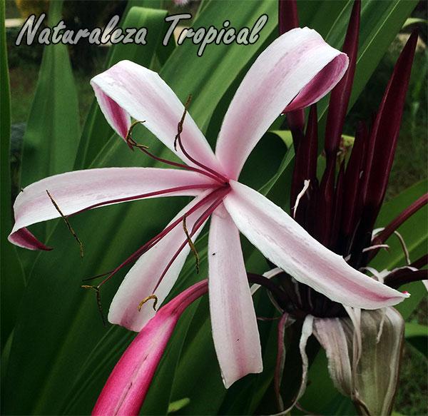 Flor de una planta del género Crinum