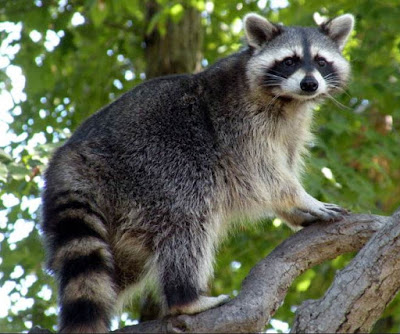 Raccoon - Animals beginning with R