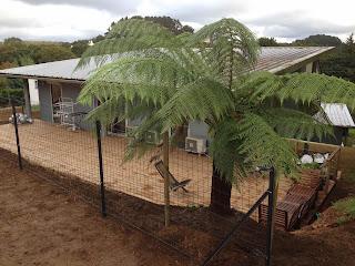 Fougère arborescente Tasmanie Coat Maen