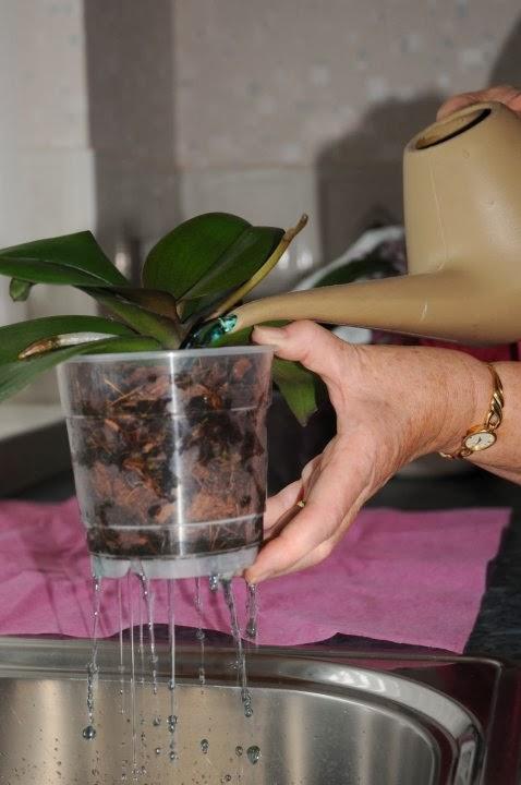 tưới nước cho hoa lan hồ điệp