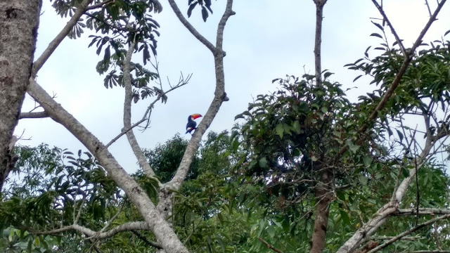 toucan in tree, beautiful bird