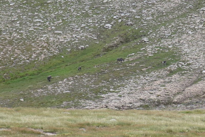 cairngorm reindeer from a distance