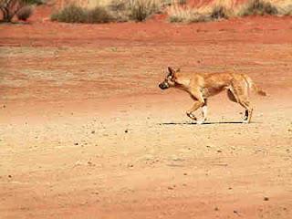 Dingo - Anjing Liar