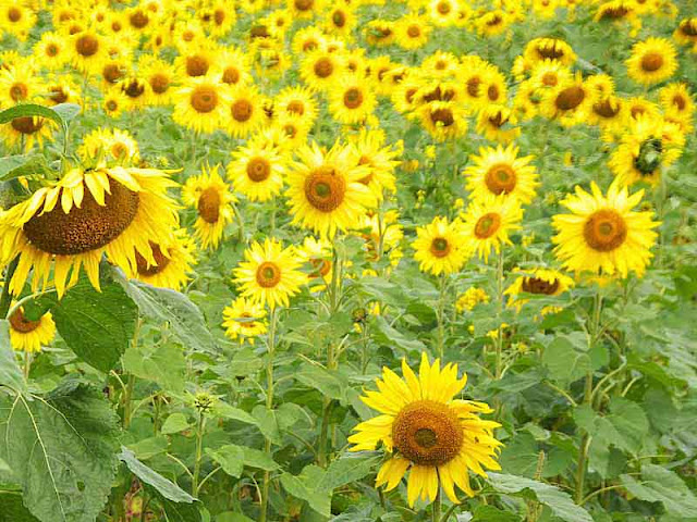 field, flowers, sunflowers