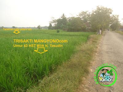 FOTO 1 : Tanaman Padi TRISAKTI MANGYONOcom   Milik H. TASUDIN Pagaden Barat, Subang.