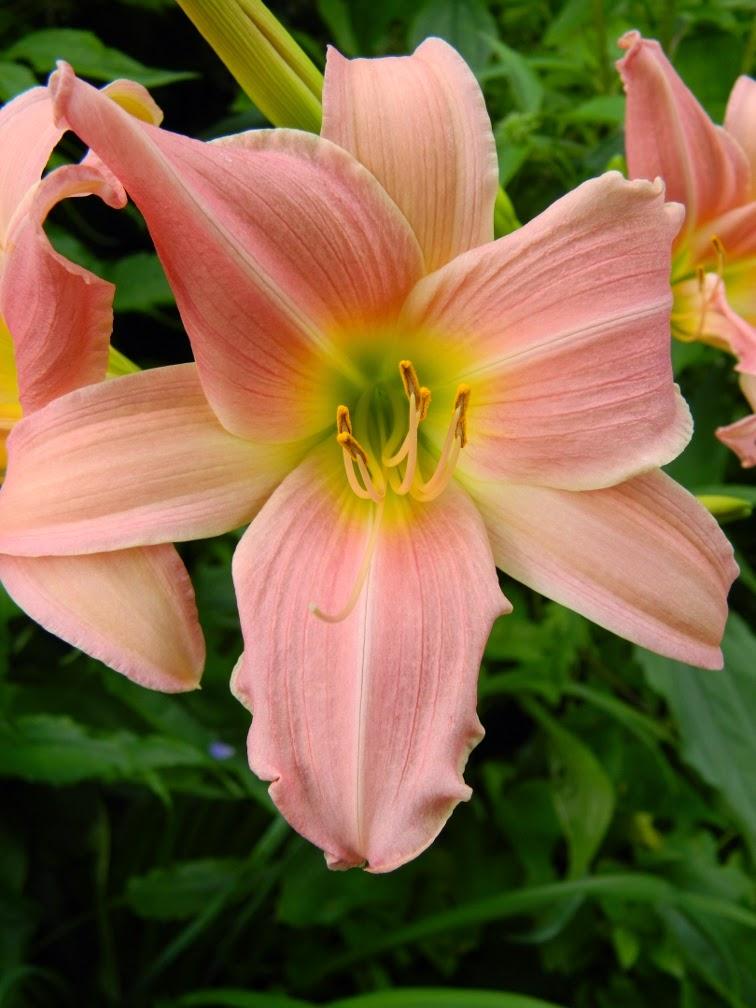 Bama Music daylily Hemerocallis by garden muses-not another Toronto gardening blog