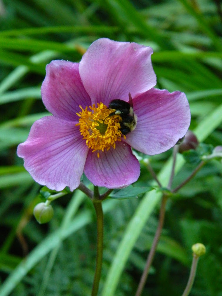 Japanese Anemone tomentosa 'Robustissima' by garden muses-not another Toronto gardening blog