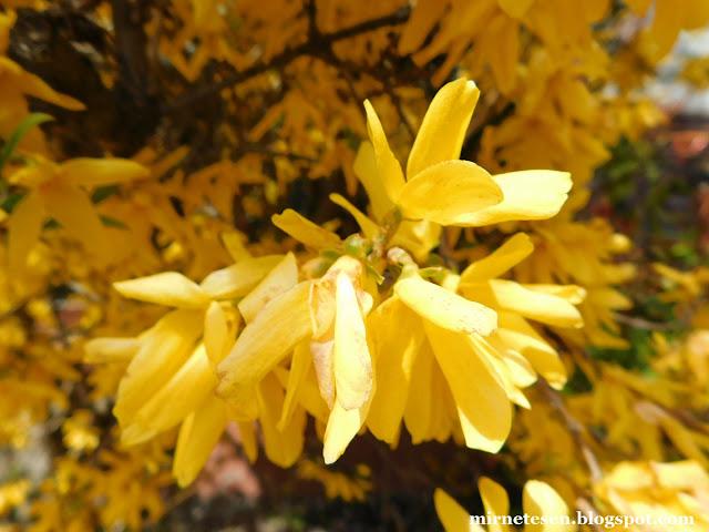 Андорра-ла-Велья - цветение форзиции