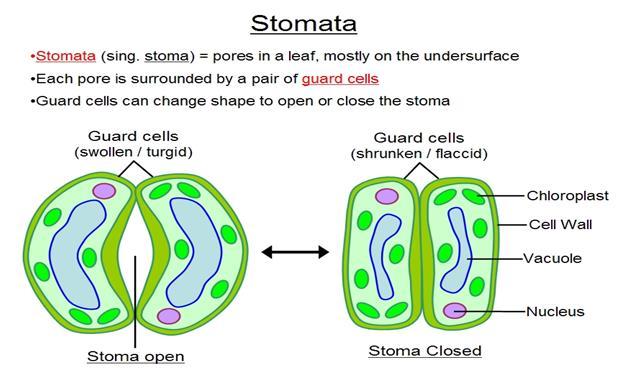 Open And Closed Stomata Diagram Asim K8 Lab Estimating Of Stomata
