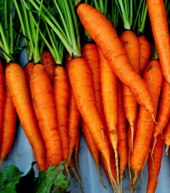companion plant carrot