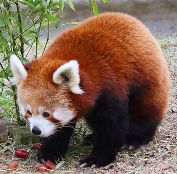 Embora ainda pouco conhecido, o panda-vermelho já se encontra em perigo de extinção, Este perigo deve-se à destruição do habitat pela expansão humana, da agricultura, da pecuária e da escassez de recursos naturais.