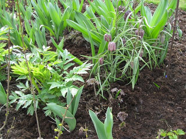 Rutelilje - en søtnos jeg vil ha mye av i hagen min - her i samplanting med stauder og løkblomster