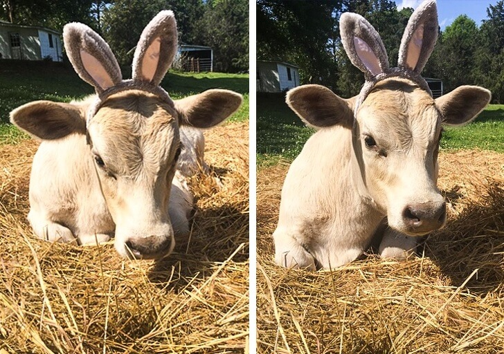 21 Cute Pictures Of Animals That Can Make Even The Worst Day A Bit Better - A cow with rabbit ears