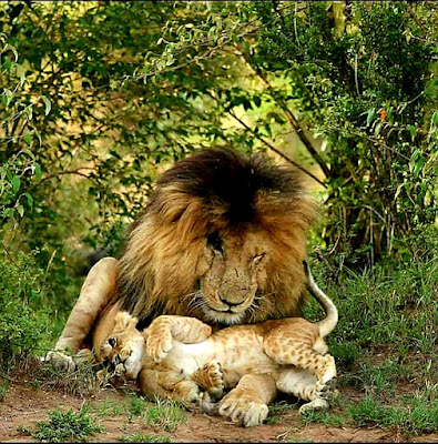Lion:Father and son