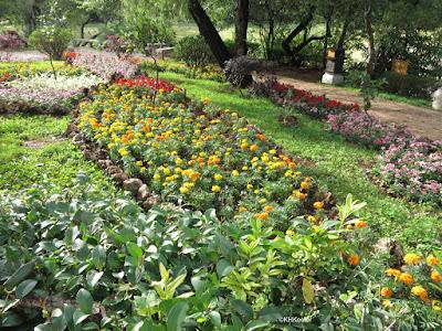 marigolds. Lijiang, Yunnan, China