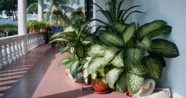 Αν έχετε στο σπίτι σας αυτό το φυτό, πρέπει να το απομακρύνετε άμεσα
