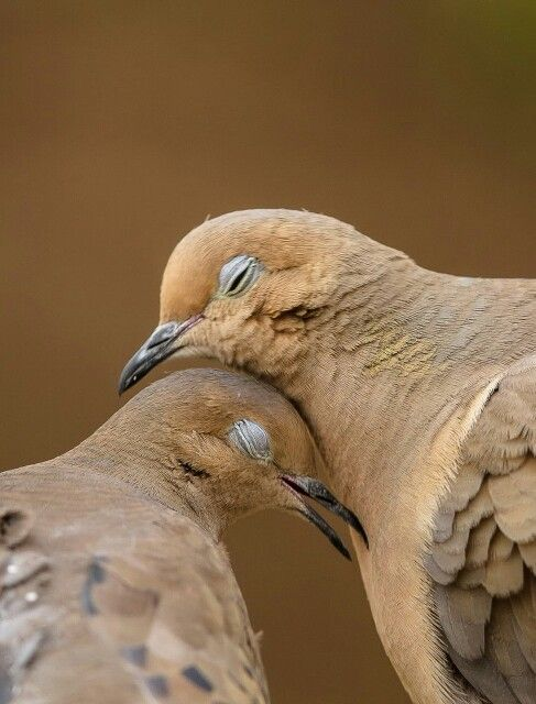 Love Birds Doves