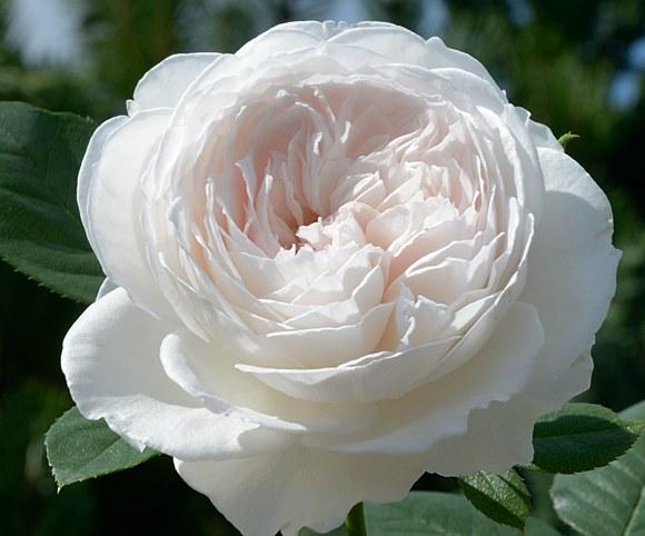 Herzogin Christiana сорт розы фото купить саженцы минск питомник
