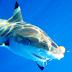 BATANTA REPORT JULY 2014 (LOMBOK ISLAND, NTB): Monster Black Tip Shark Hooked on Batanta Nemo 100 Gram