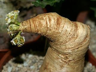 Euphorbe à feuilles de primevere - Euphorbia primulifolia