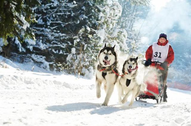 ركوب زلاجات الكلاب