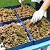 P3.1-M na kush marijuana na idineklarang 'shirts, chocolate, green tea,' nasabat sa NAIA