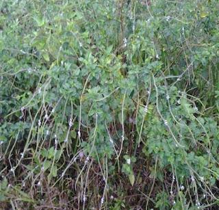 Pokok Ekor Ular Penawar Patukan Tedung