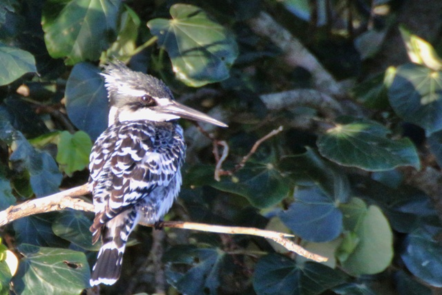 Kingfisher en el Lago Estuario de Santa Lucia