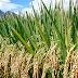 राजेन्द्र कृषि विवि के वैज्ञानिकों ने विकसित की एरोबिक धान की नई प्रभेद