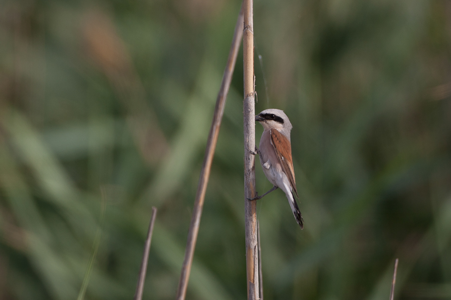 Red-backed Shrike - male