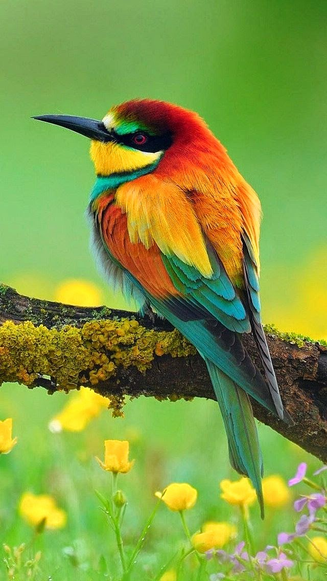 Stunning Kingdom: 5 Stunning And Colouring Birds, Innocent