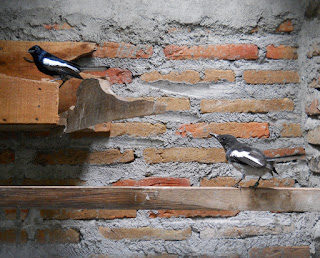 Burung Kacer - Mineral dan Vitamin yang Sangat Penting Bagi Membantu Penangkaran Burung Kacer Sukses