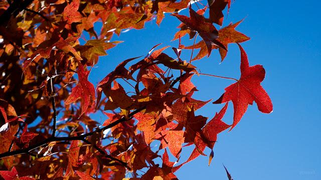 Foglie rosse in autunno. Fotografia di Giovanni Battisti