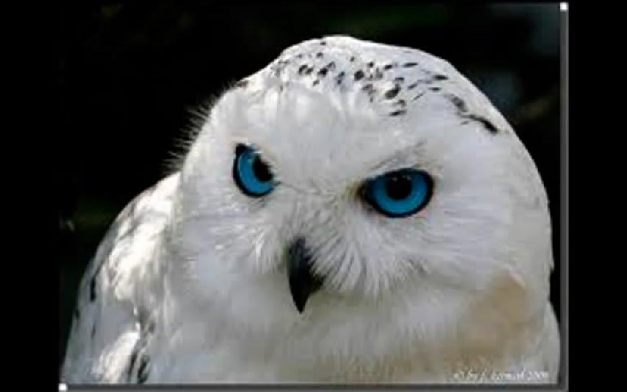 光明會 錫安長老會 聖羅馬帝國和NWO 及森遜密碼驗證: 雪鴞從北極高飛向南作罕見的大規模遷移