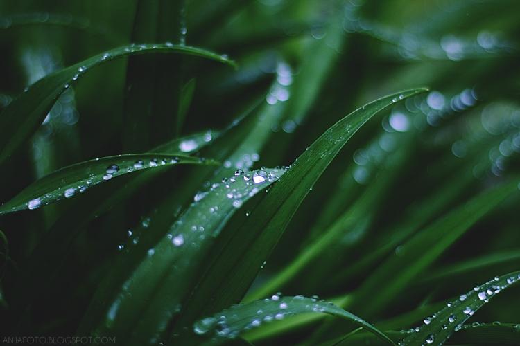 trawa, trawa po deszczu, krople, wiosna 2017