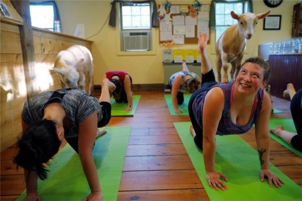 Lạ lùng trào lưu tập yoga với... dê