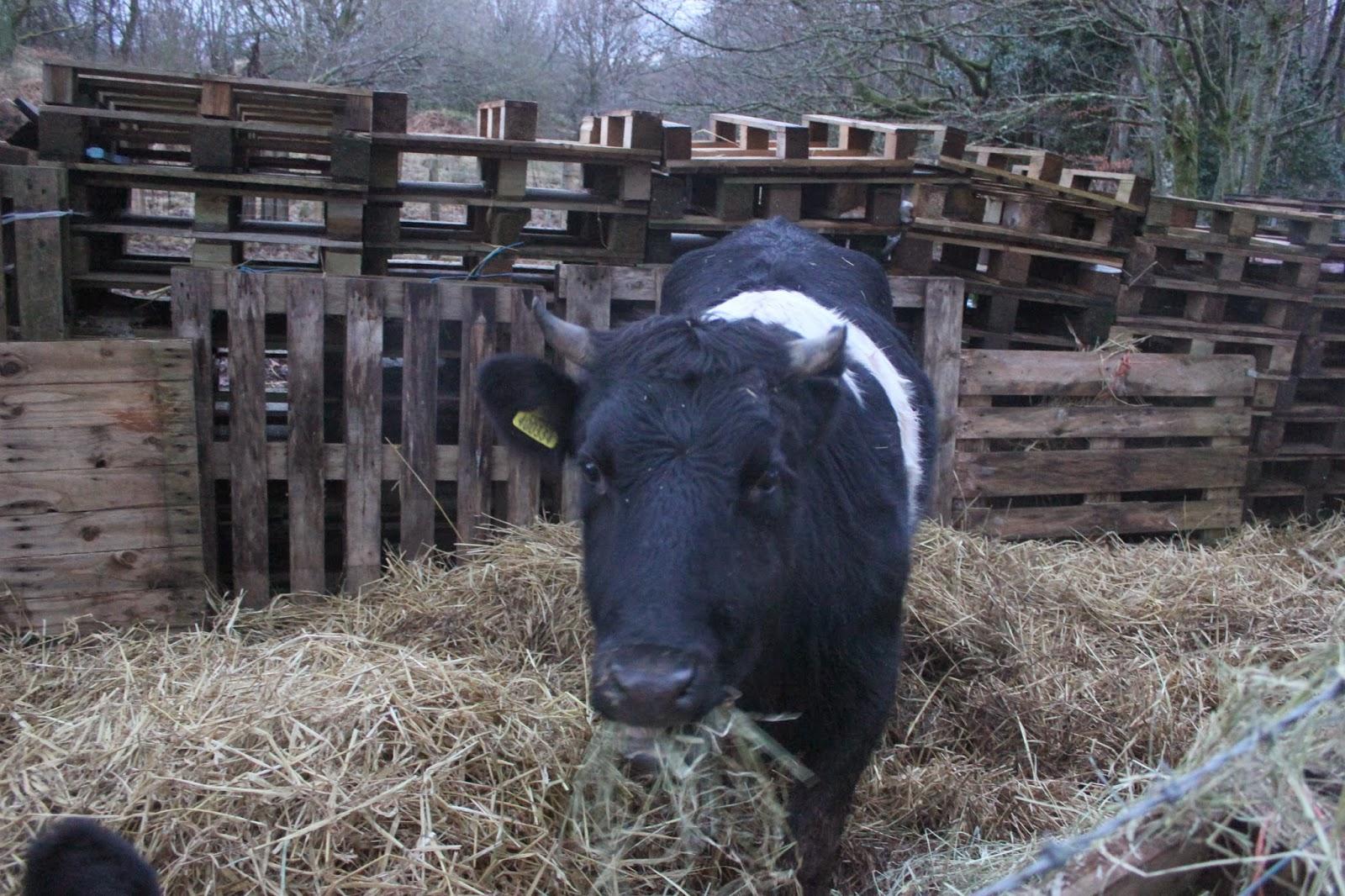 Shetland cow