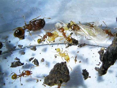 Male alate and workers of Pheidole ants