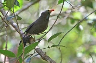 ini merupakan spesies burung dari keluarga besar Garrulax atau  Burung Poksay Botak