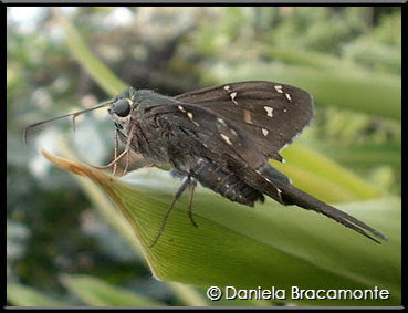 Mariposa coluda verdosa Urbanus proteus